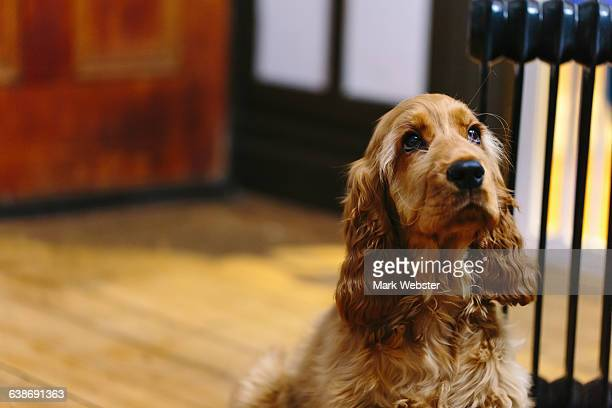 puppy sitting and waiting indoors - cocker spaniel stock photos and pictures