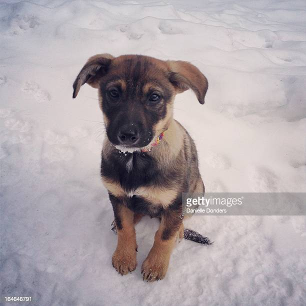 """puppy sitting in the snow - """"danielle donders"""" stock pictures, royalty-free photos & images"""