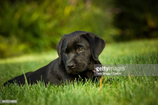 puppy sitting on grassy field - black labrador stock pictures, royalty-free photos & images