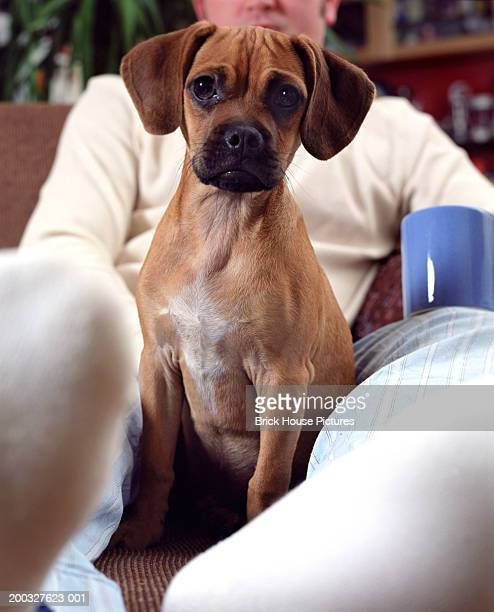 puppy sitting on ottoman with owner (focus on puppy) - puggle stock pictures, royalty-free photos & images