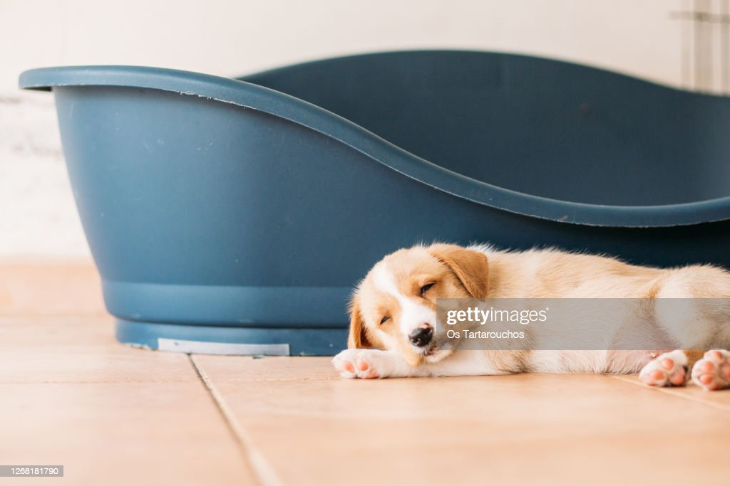 puppy sleeping next to its bed : Stock Photo