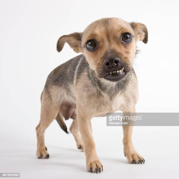 Puppy snarling