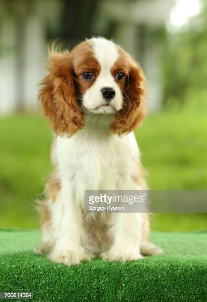 puppy spaniel. - cavalier king charles spaniel stock pictures, royalty-free photos & images