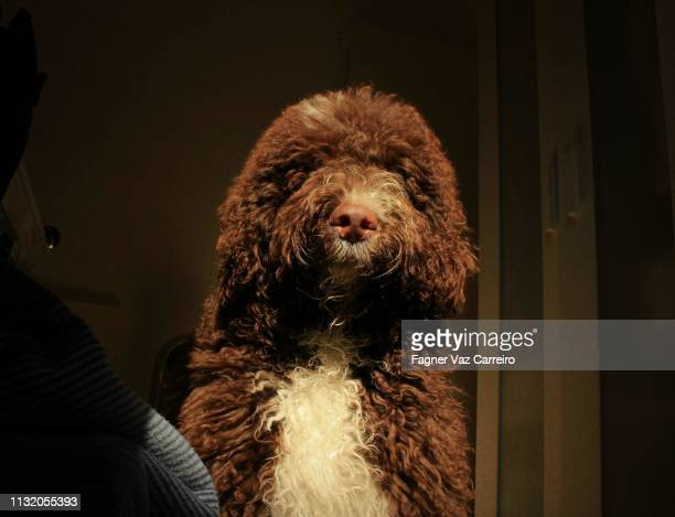 puppy spanish water dog - cão stock pictures, royalty-free photos & images