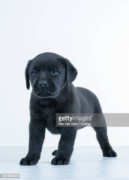 Puppy Standing Against White Background