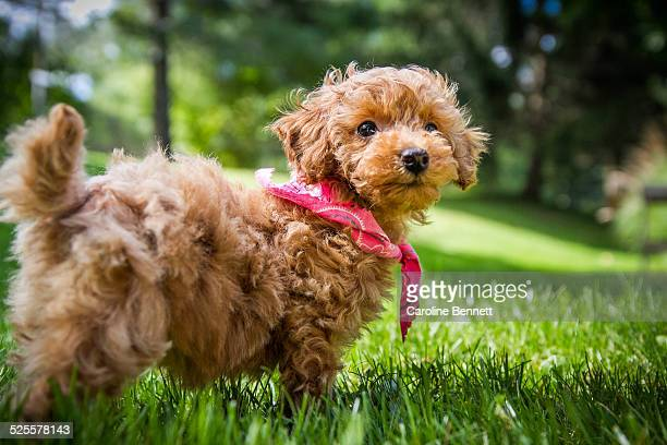 A puppy stands in a grassy field