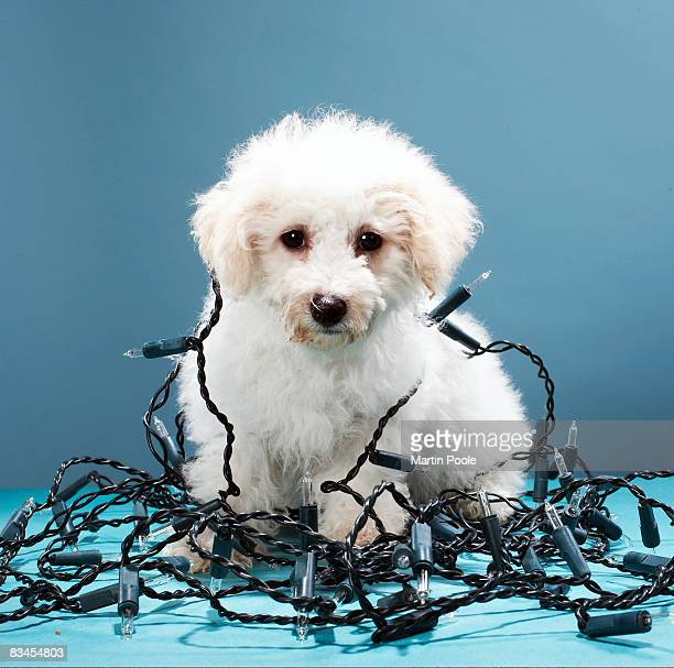 Puppy tangled in Christmas lights