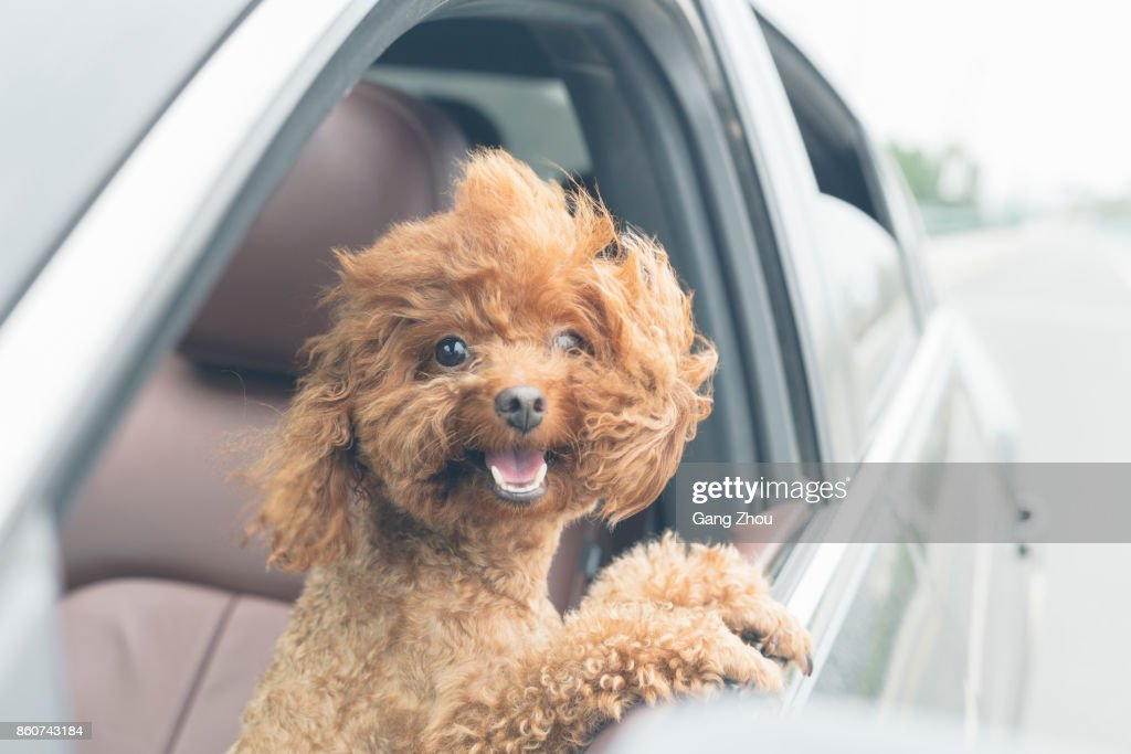 puppy teddy riding in car with head out window : Stock Photo