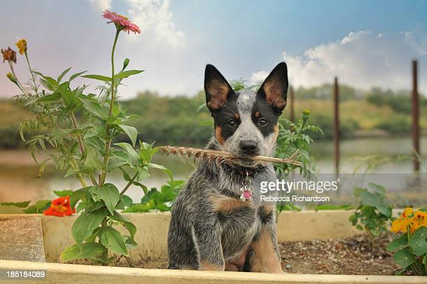 puppy w/ feather - australian cattle dog stock pictures, royalty-free photos & images