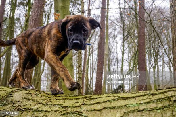 Puppy walking on a log