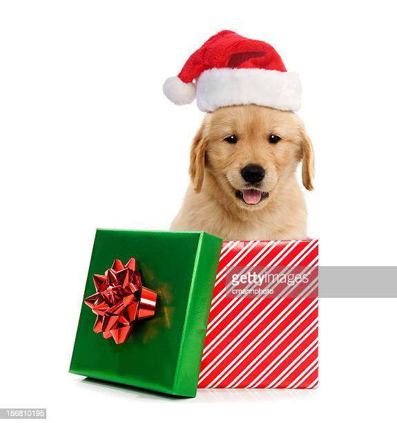 puppy wearing santa hat in gift box for christmas - santa hat stock pictures, royalty-free photos & images