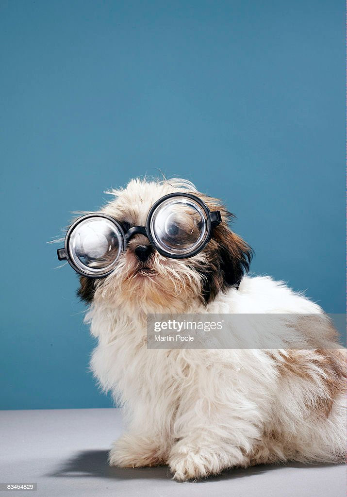 Puppy wearing thick glasses : Photo