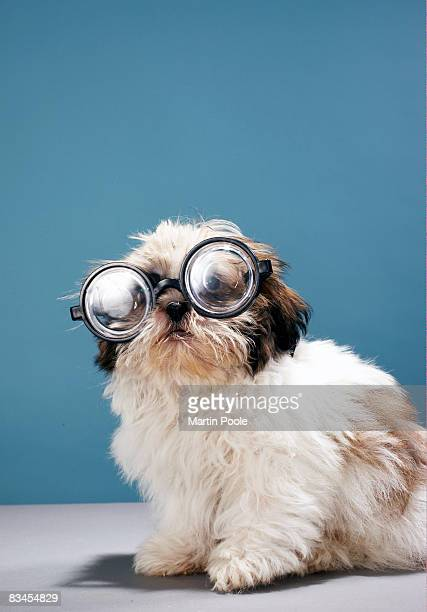 Puppy wearing thick glasses