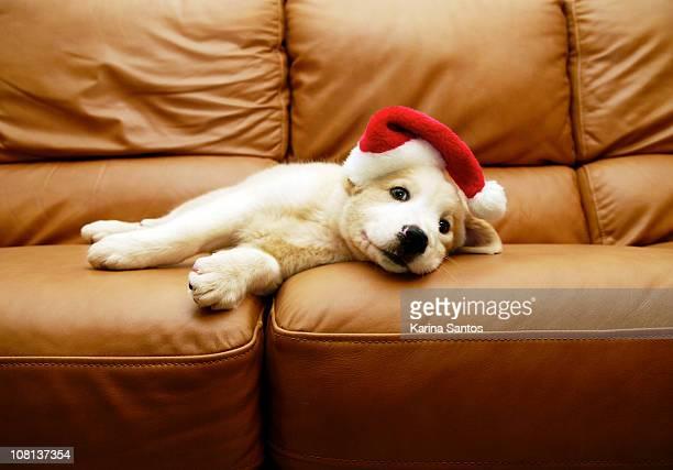 puppy wears a christmas hat, lounges on sofa - pazifikinseln stock-fotos und bilder