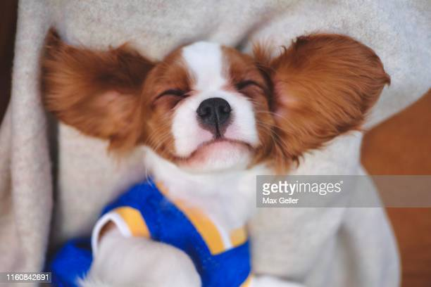 puppy with big ears in blue jersey - cavalier king charles spaniel stock pictures, royalty-free photos & images