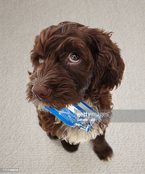 puppy with chewed credit card - misbehaviour stock pictures, royalty-free photos & images