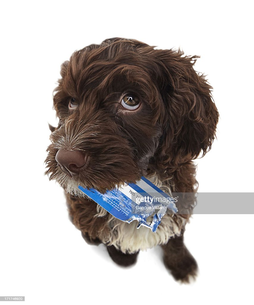 Puppy with chewed credit card : Stock Photo