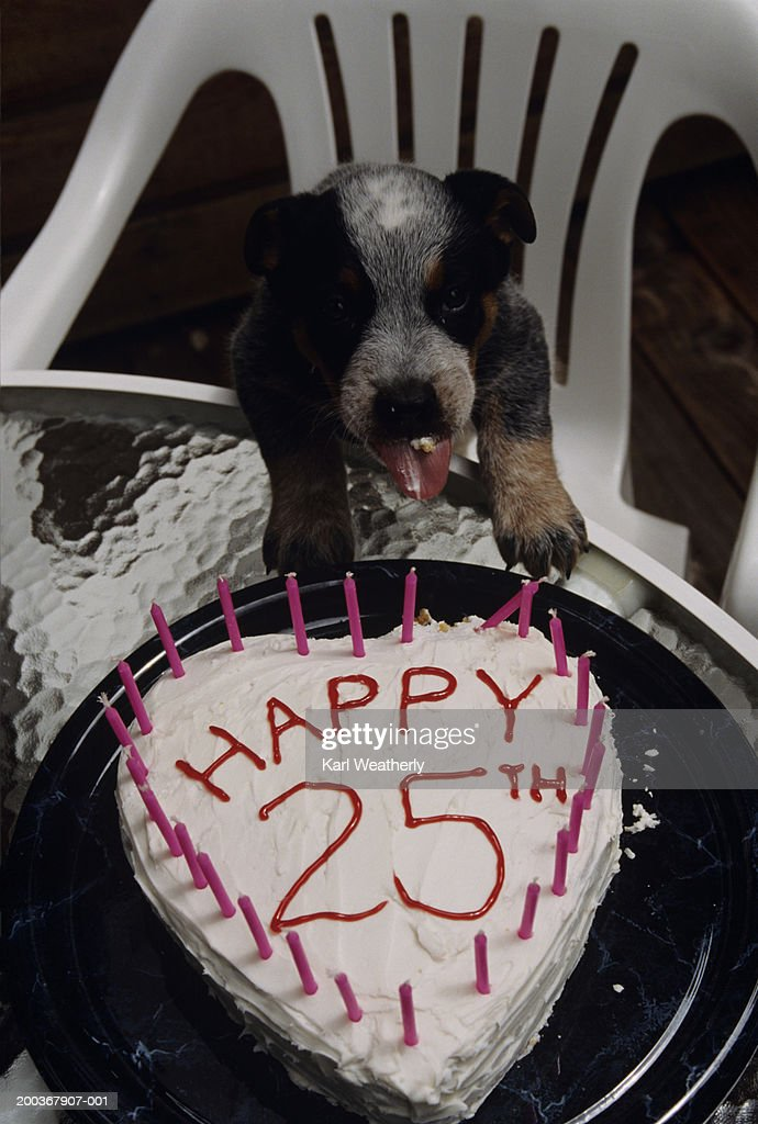 Puppy With Heart Shaped 25th Birthday Cake Close Up Stock Foto