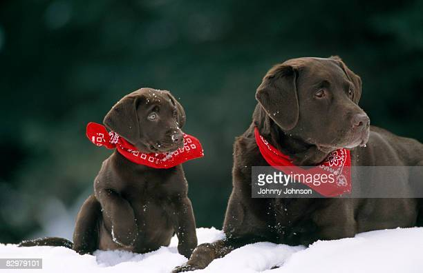 puppy with mature dog on snowfield - chocolate labrador stock pictures, royalty-free photos & images