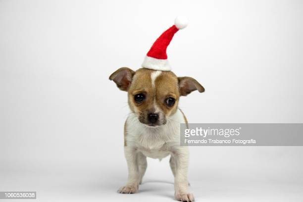 puppy with santa claus hat - funny christmas stock photos and pictures