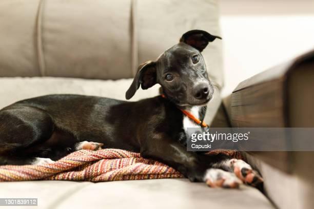 頭が傾き、ソファに横たわっている足を横切った子犬 - 首をかしげる ストックフォトと画像