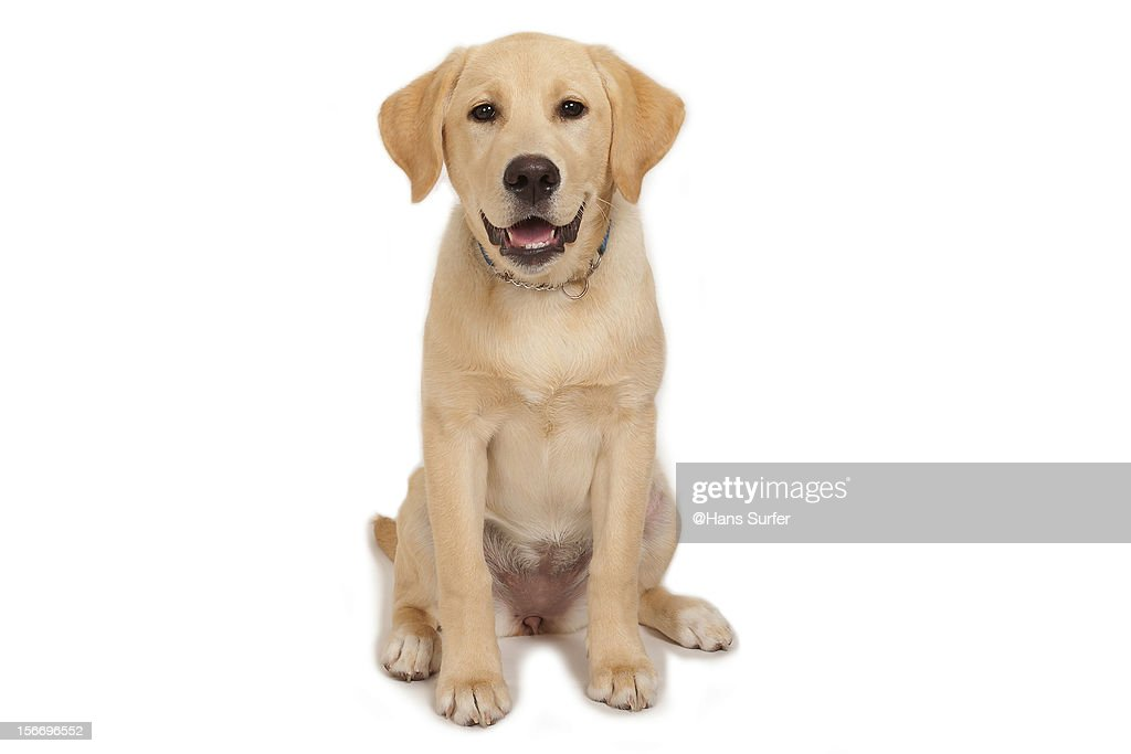 Puppy: Yellow Labrador! : Stock Photo