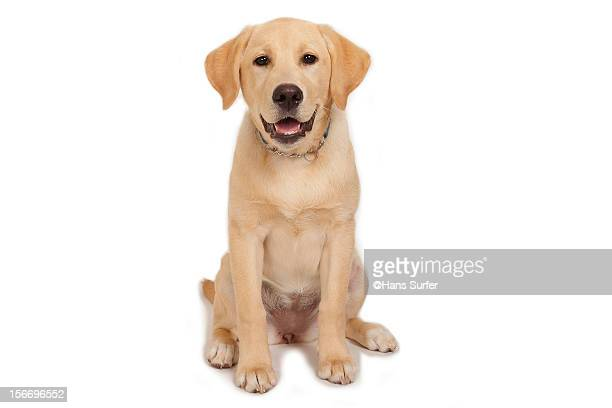 Puppy: Yellow Labrador!