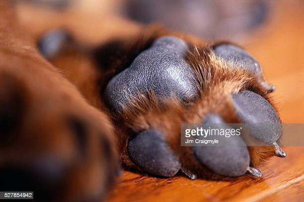 puppy's paw on hardwood floor - paw stock pictures, royalty-free photos & images