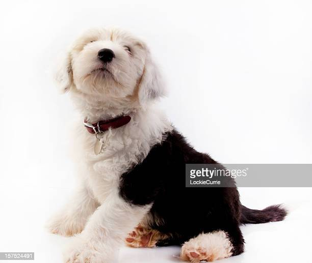 pupy - old english sheepdog stock pictures, royalty-free photos & images