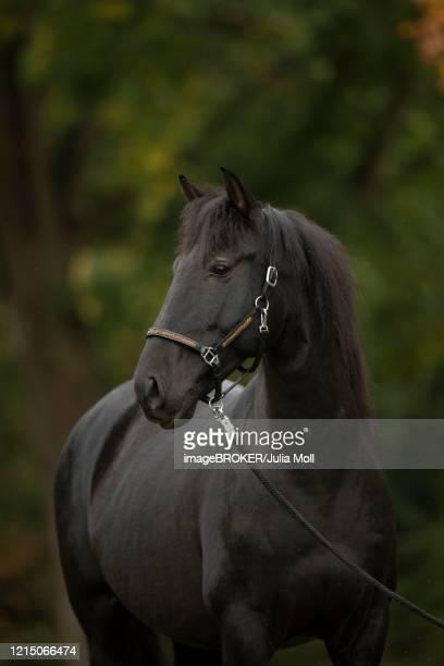 pura raza espanola black horse in autumn, traventhal, germany - pre season bildbanksfoton och bilder