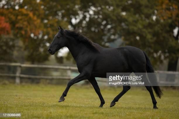 pura raza espanola black horse trotting over the autumn pasture, traventhal, germany - pre season bildbanksfoton och bilder