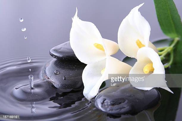pure flower and drop - calla lily stock pictures, royalty-free photos & images