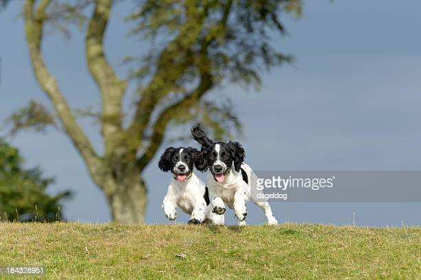 pure joy - springer spaniel stock pictures, royalty-free photos & images