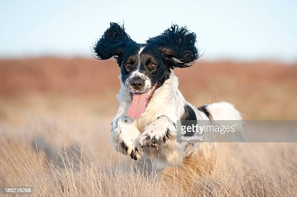 pure joy - spaniel stock photos and pictures