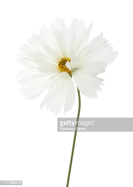 pure white cosmos flower with stem in close-up on white. - 一つ ストックフォトと画像