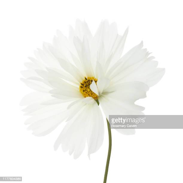 pure white cosmos flower with stem in white square. - silhouette stock pictures, royalty-free photos & images