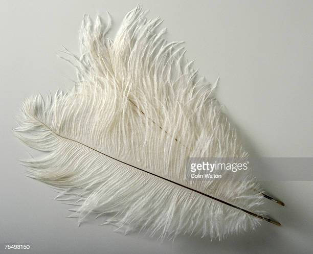 Pure white Ostrich feathers