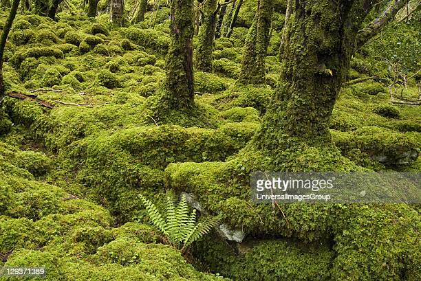 Pure Yew woodland trees rooted into fissures in bare limestone little ground flora but abundant bryophyte layer 1 of only 3 in Europe listed as...