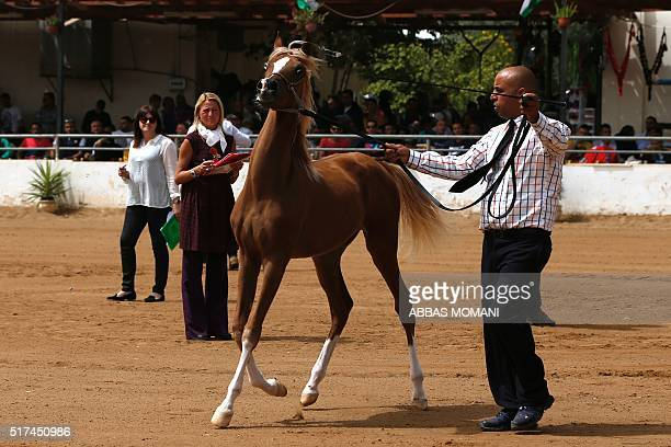 A purebred Arabian horse is paraded during a beauty contest on March 25 in the West Bank city of Jericho / AFP / ABBAS MOMANI