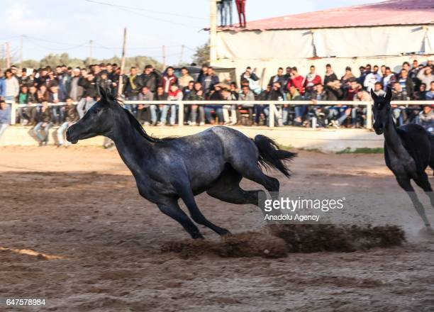 A purebred Arabian horse is seen during an event organized by a riding club in Gaza City Gaza on March 3 2017 Twenty Arabian horses performed during...