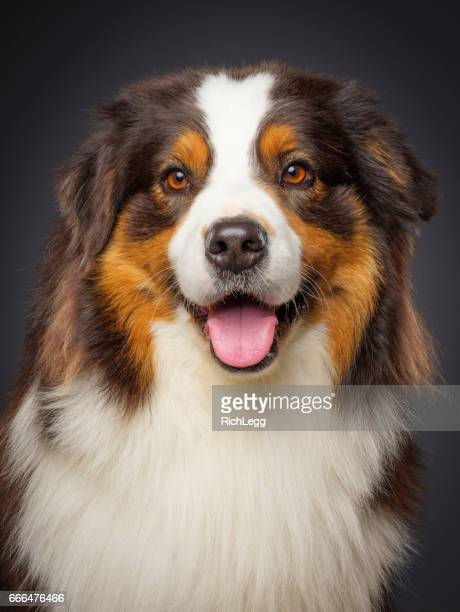 purebred australian shepherd dog - seeing eye dog stock photos and pictures