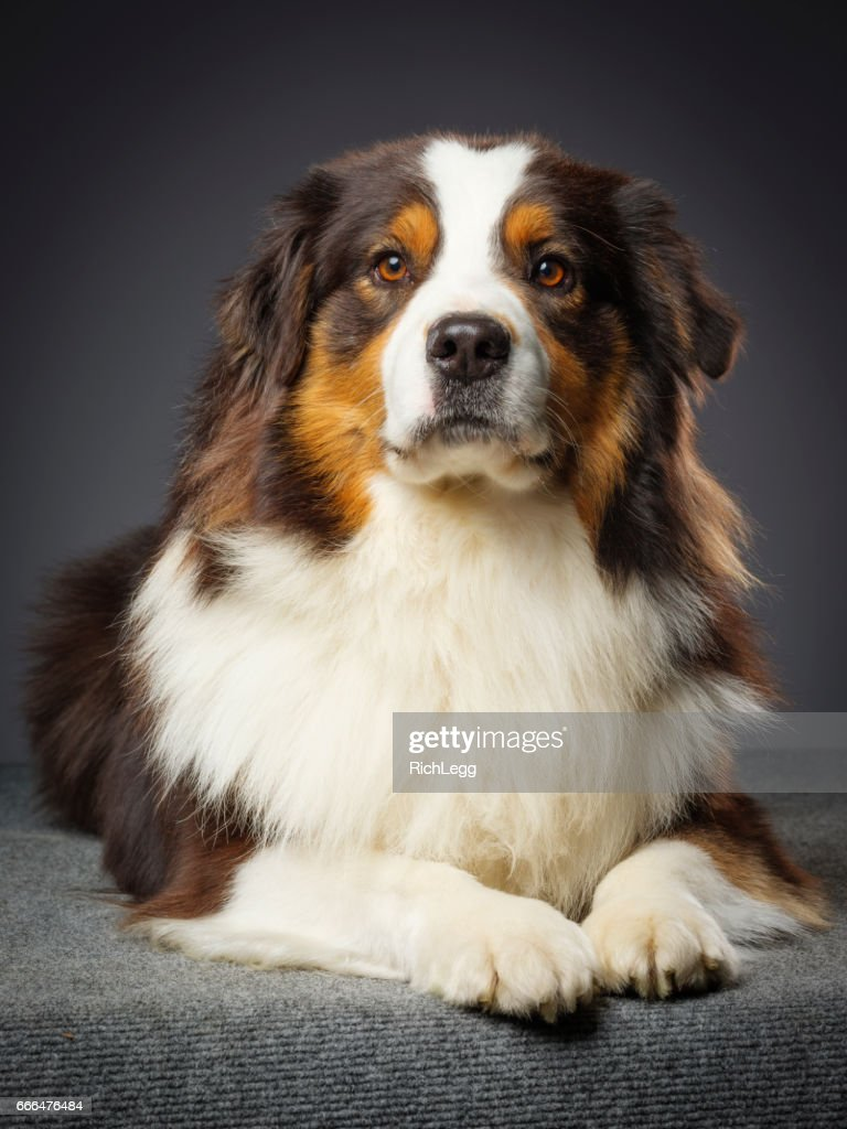 Purebred Australian Shepherd Dog : Stock Photo