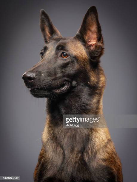 purebred belgian malinois dog - belgian malinois stock photos and pictures