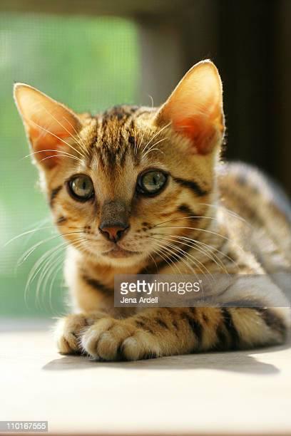 Purebred Bengal Kitten