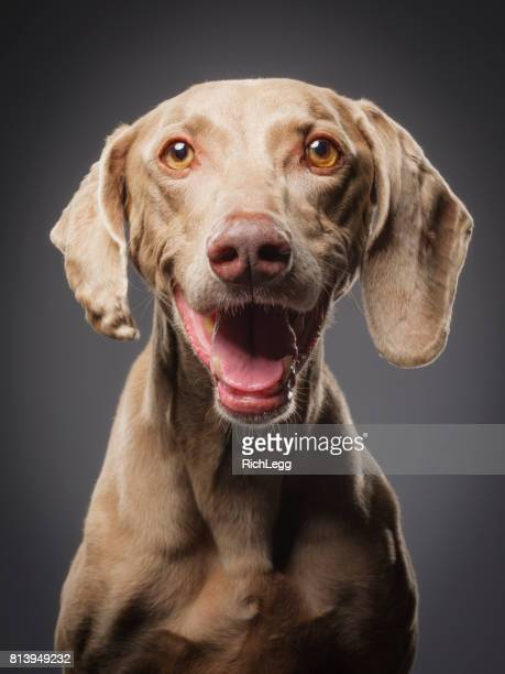purebred black weimaraner dog - seeing eye dog stock photos and pictures