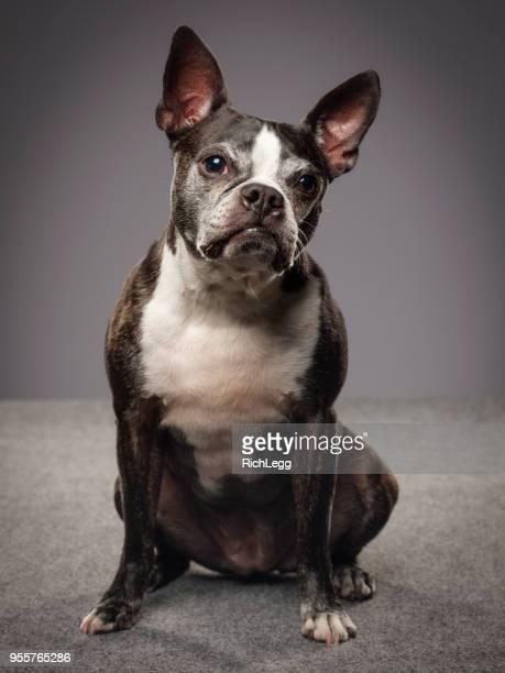 Renrasiga Boston Terrier hund