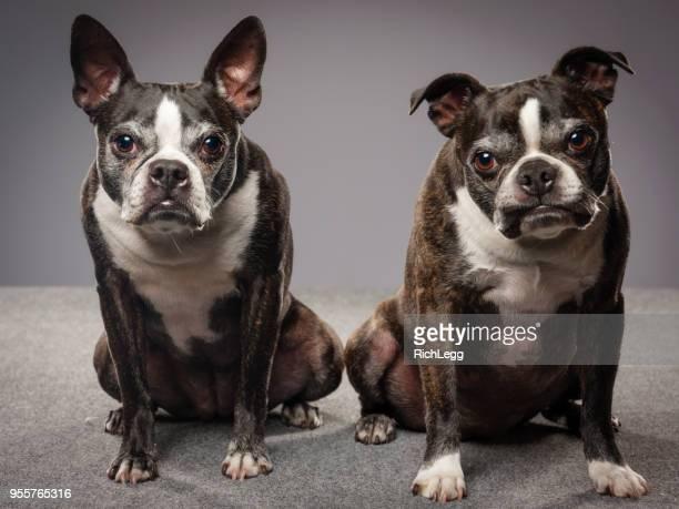 Renrasiga Boston Terrier hundar