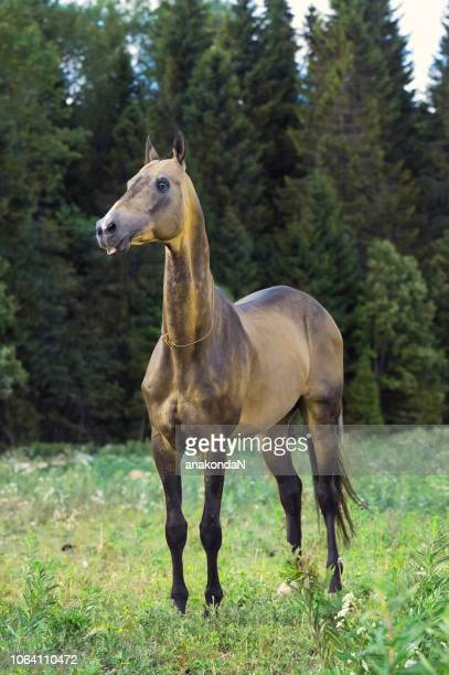purebred buckskin akhalteke stallion posing  at forest background