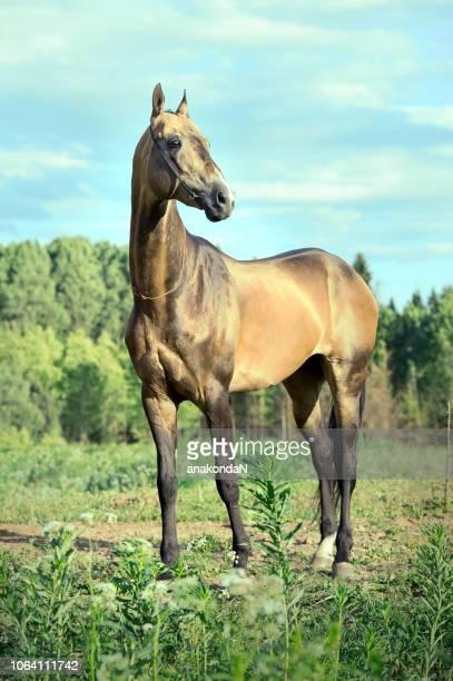 purebred buckskin akhalteke stallion posing  in meadow at forest background