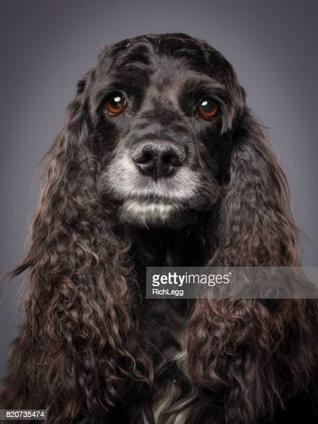 Purebred Cocker Spaniel Dog